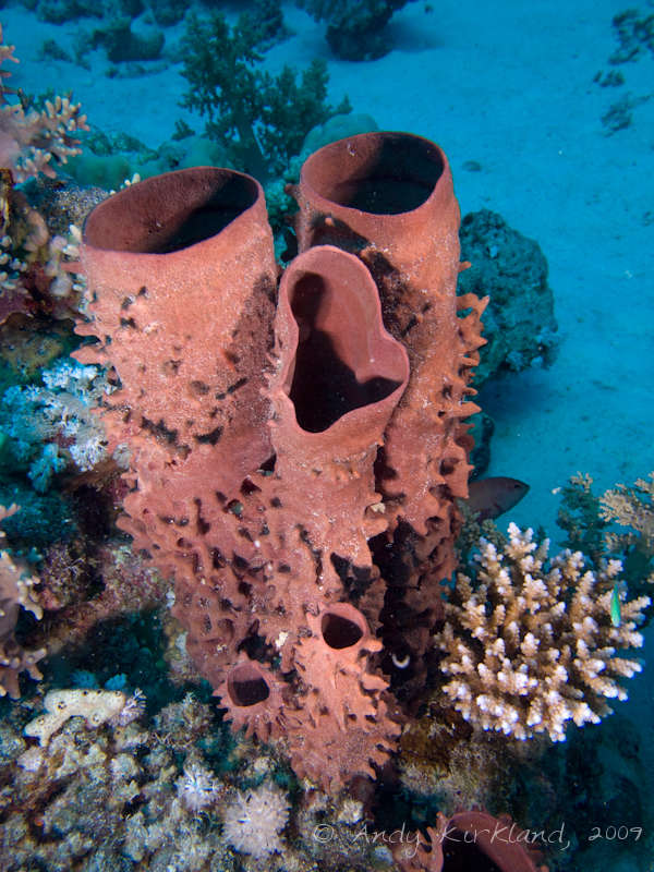Photo at Sha'ab Zabargad:  Prickly Tube-sponge