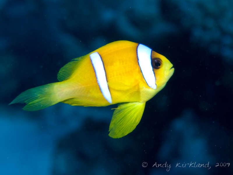 Photo at Sha'ab Zabargad:  Twoband anemonefish