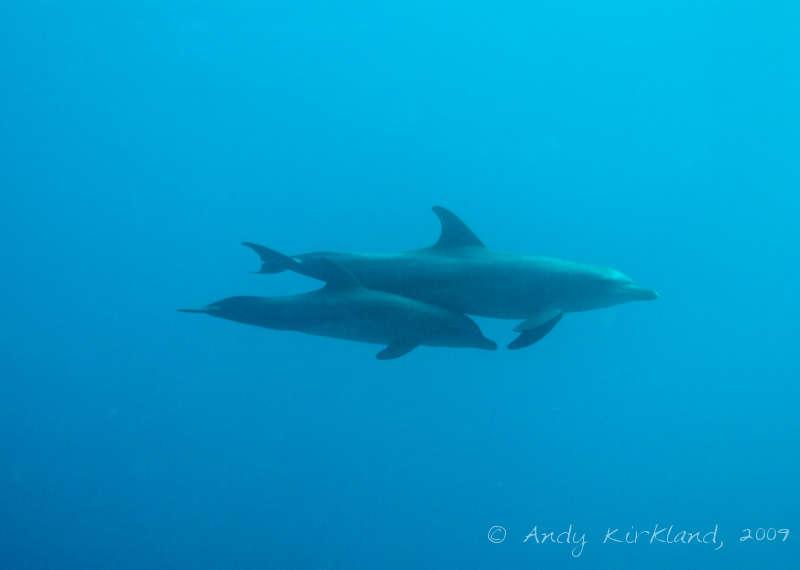 Photo at Sha'ab Zabargad:  Little bottlenose dolphin