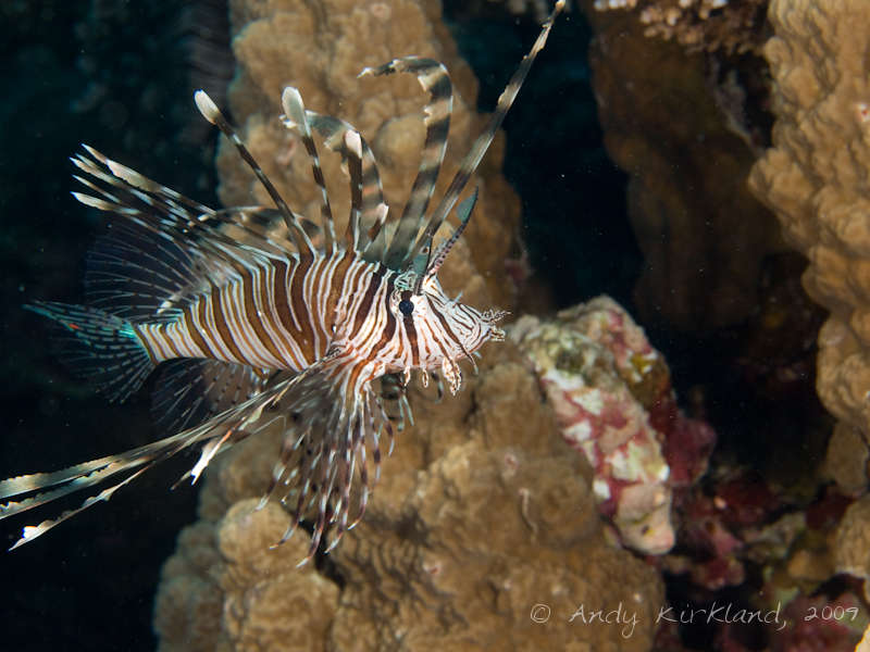 Photo at Sha'ab Zabargad:  Devil firefish