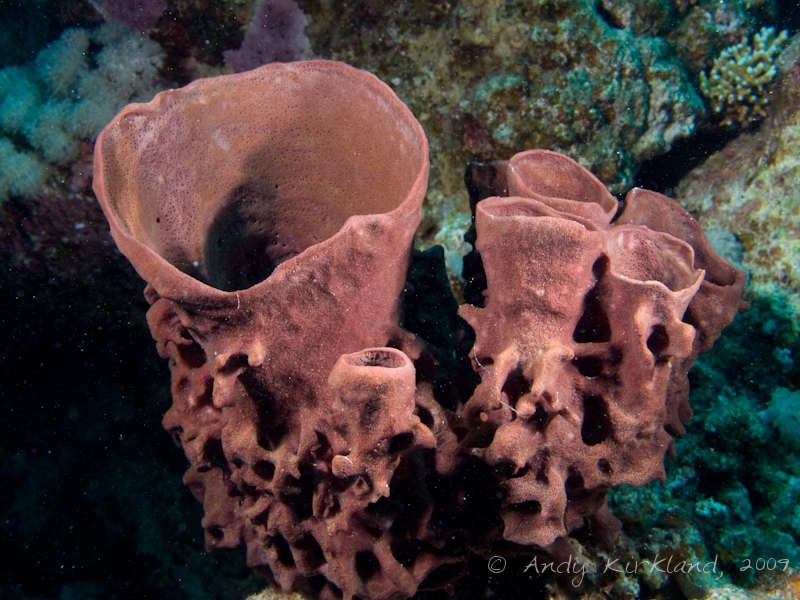 Photo at Sha'ab Sataya:  Prickly Tube-sponge