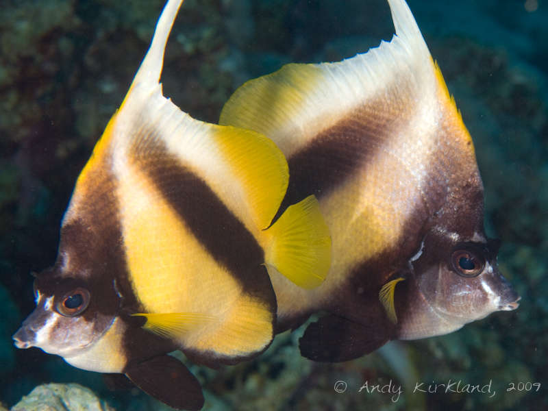 Photo at Sha'ab Malahi:  Red Sea bannerfish