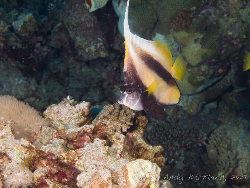 Photo at Sha'ab Malahi:  Red Sea bannerfish