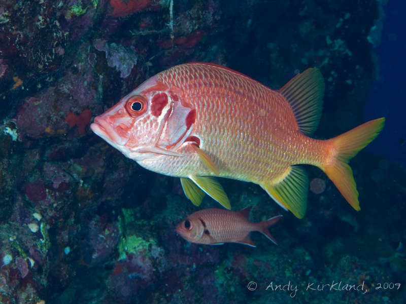 Photo at Sha'ab Malahi:  Sabre squirrelfish