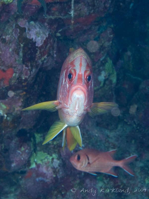 Photo at Sha'ab Malahi:  Sabre squirrelfish