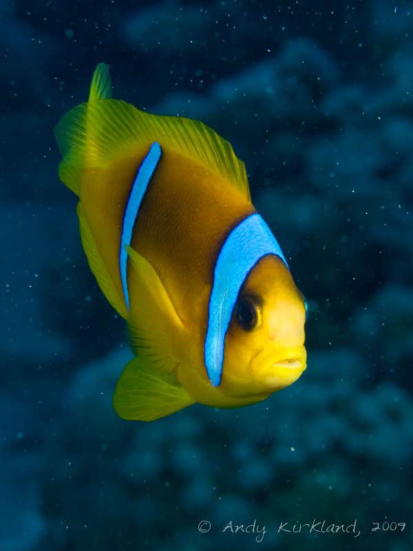 Photo at Sha'ab Malahi:  Twoband anemonefish