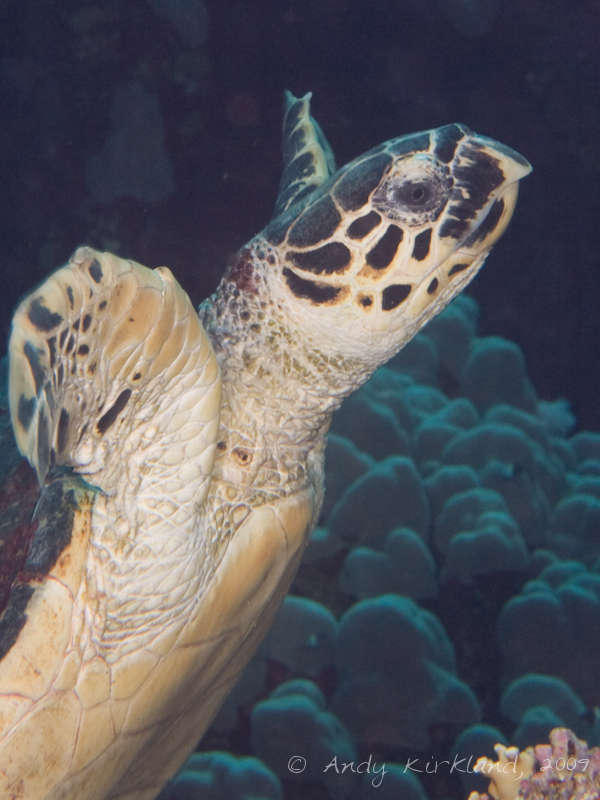 Photo at Sha'ab Malahi:  Hawksbill Turtle