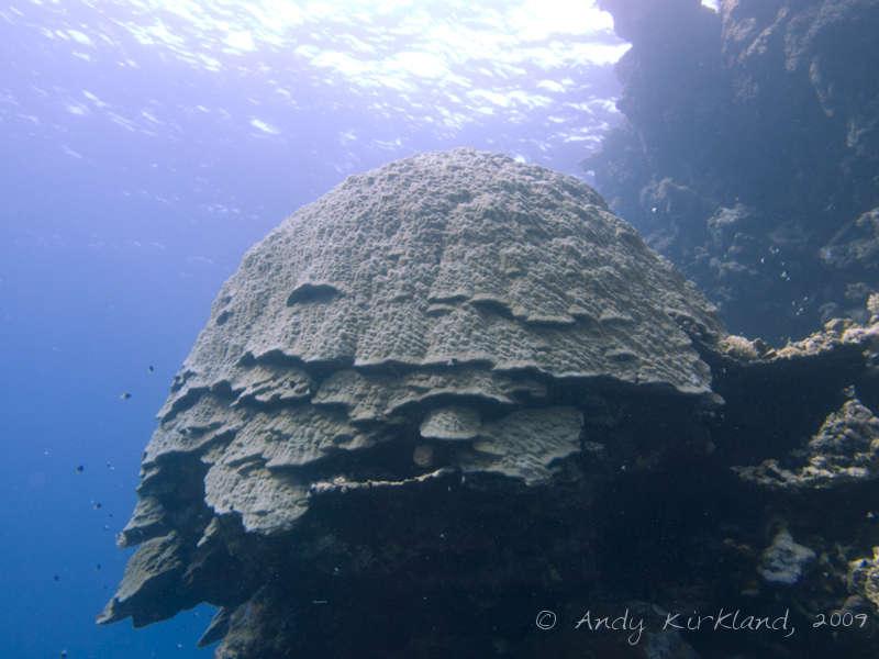 Photo at Sha'ab Malahi:  Mountain coral