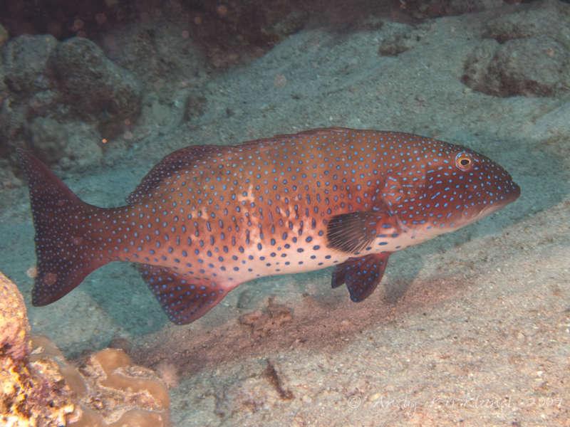 Photo at Habili Sama:  Red Sea coralgrouper