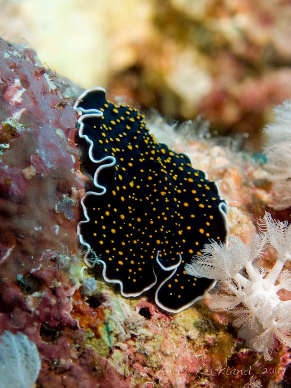 Photo at Habili Sama:  Gold-dotted flatworm