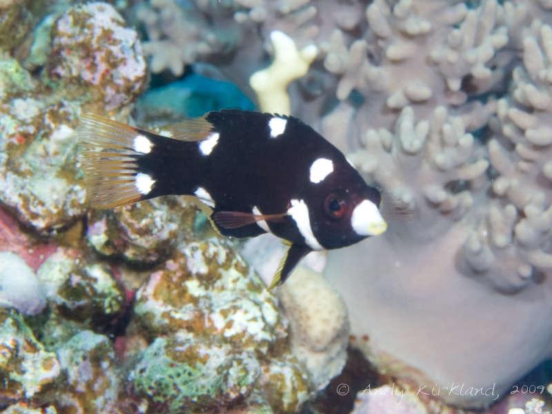 Photo at Habili Sama:  Axilspot hogfish
