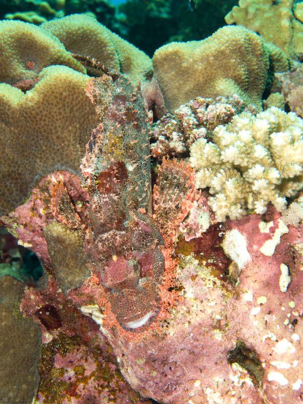 Photo at Habili Sama:  Bearded scorpionfish