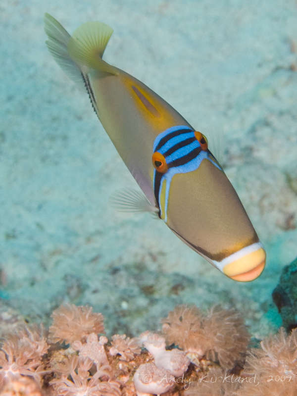 Photo at Sha'ab Mohammed:  Picasso triggerfish