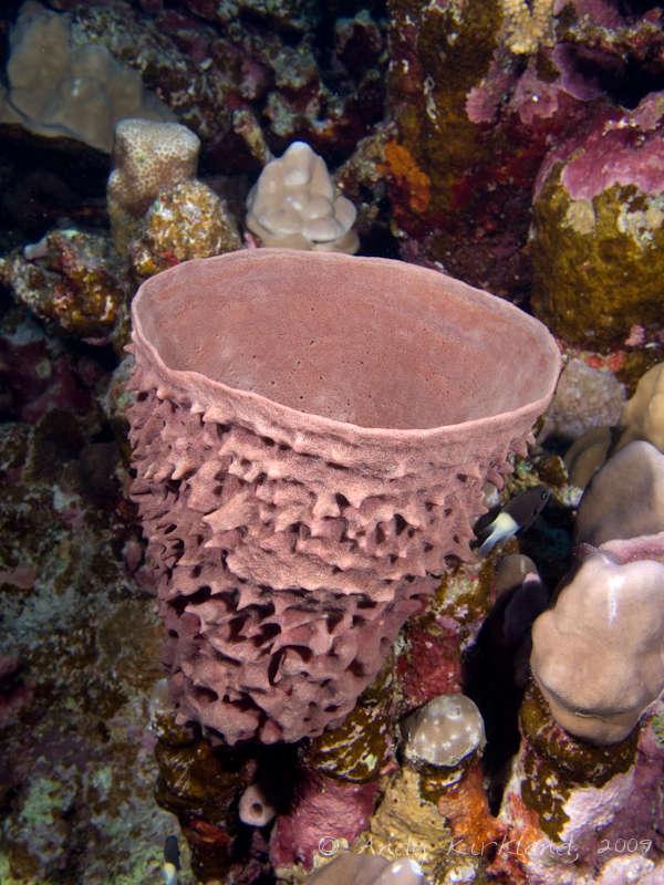 Photo at Sha'ab Mohammed:  Prickly Tube-sponge