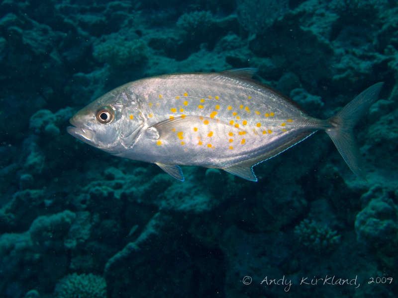 Photo at Sha'ab Mohammed:  Orangespotted trevally