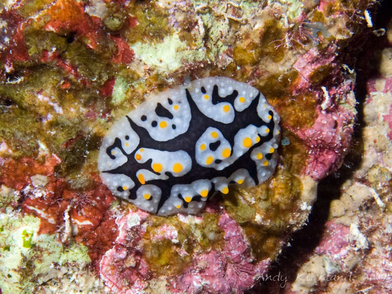 Photo at Orca House Reef:  Varicose wart slug