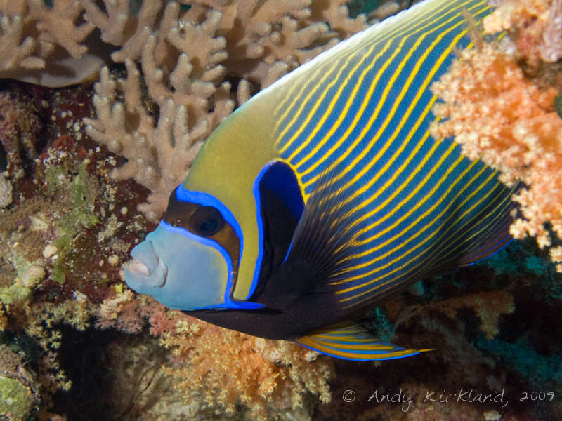 Photo at Sha'ab Gannah:  Emperor Angelfish