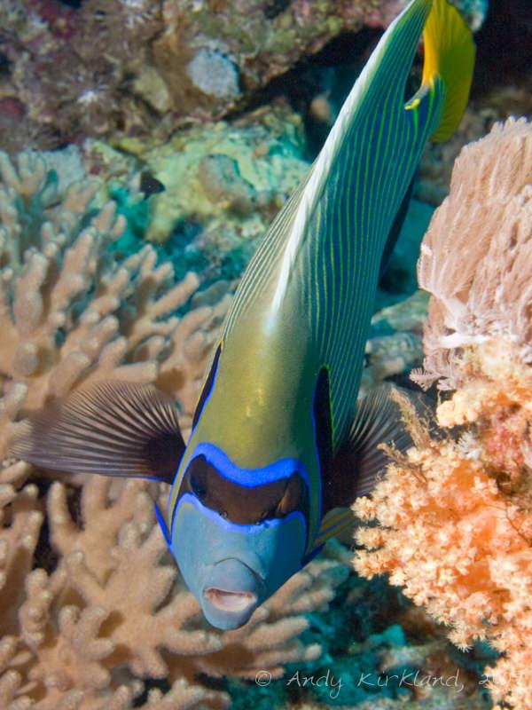 Photo at Sha'ab Gannah:  Emperor Angelfish