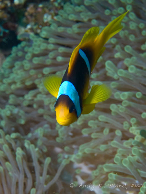 Photo at Sha'ab Gannah:  Twoband anemonefish