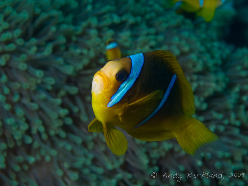 Photo at Sha'ab Gannah:  Twoband anemonefish
