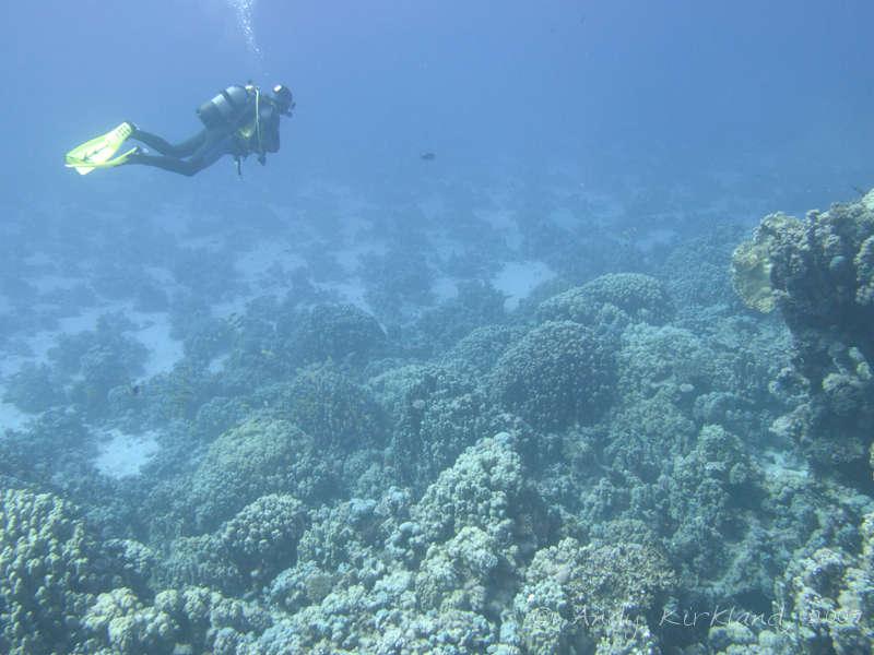 Photo at Sha'ab Claudio:  Dome coral