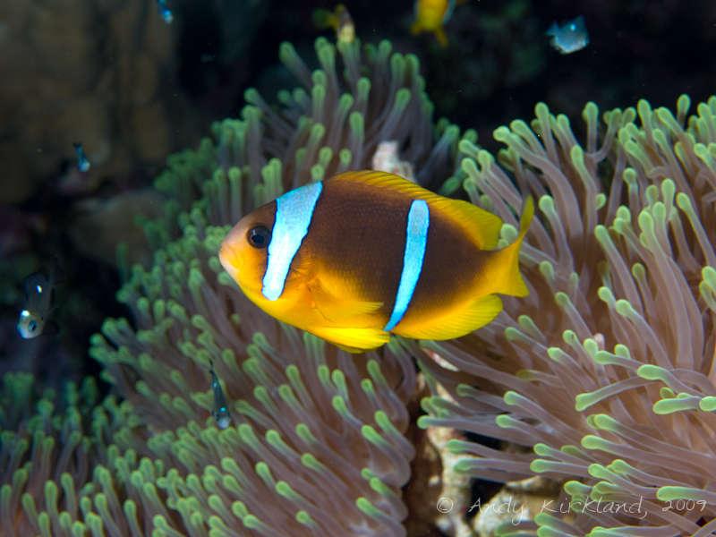 Photo at Sha'ab Claudio:  Twoband anemonefish