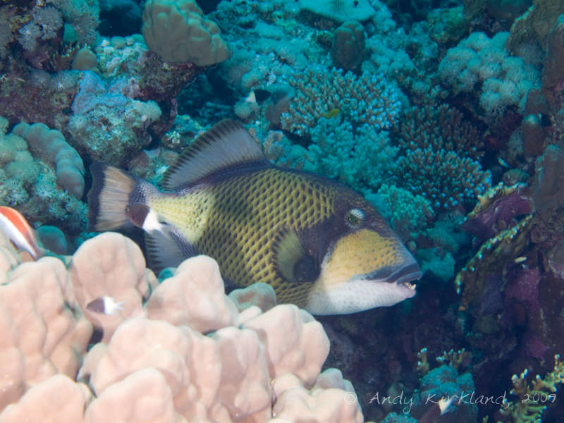Photo at Sha'ab Claudio:  Titan triggerfish