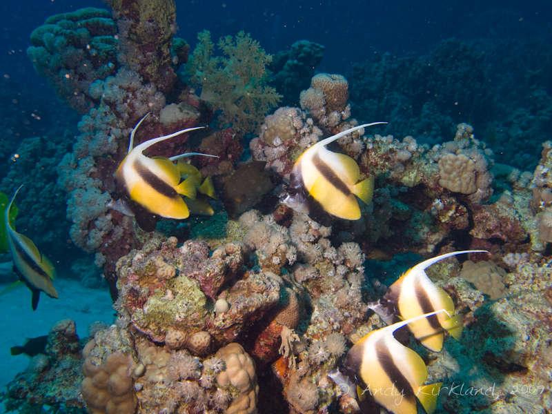 Photo at Sha'ab Bohar East:  Red Sea bannerfish