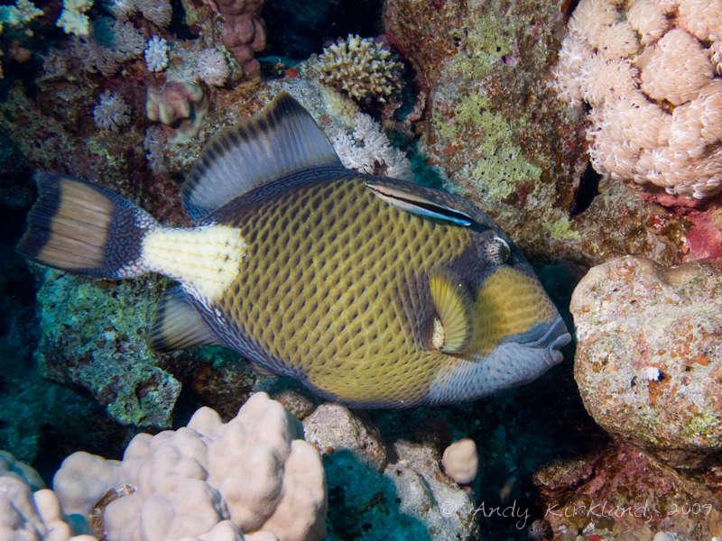 Photo at Sha'ab Bohar East:  Titan triggerfish