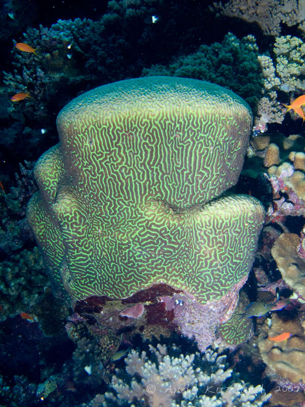 Photo at Sha'ab Ramadan:  Brain coral