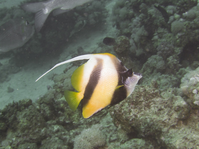 Photo at Abu Ramada South:  Red Sea bannerfish