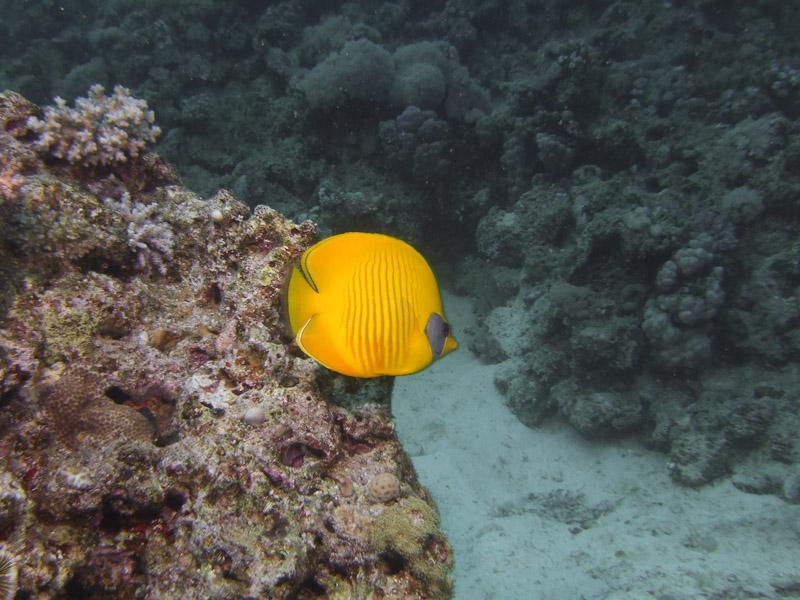 Photo at Abu Ramada South:  Bluecheek butterflyfish