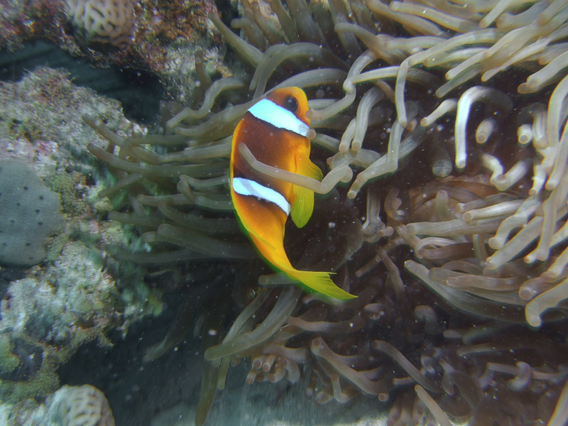 Photo at Abu Ramada South:  Twoband anemonefish
