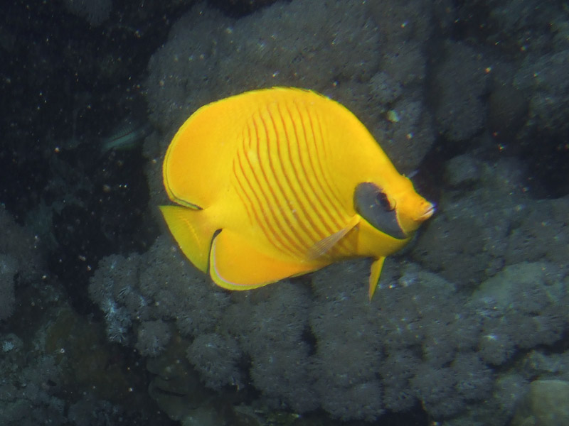 Photo at Gotta Abu Ramada (East):  Bluecheek butterflyfish