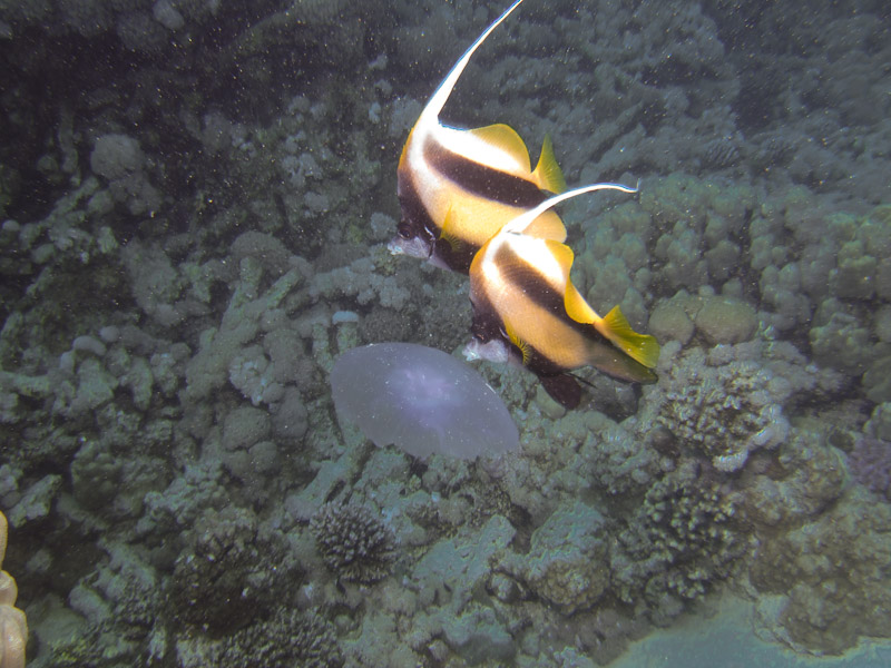 Photo at Gotta Abu Ramada (East):  Red Sea bannerfish