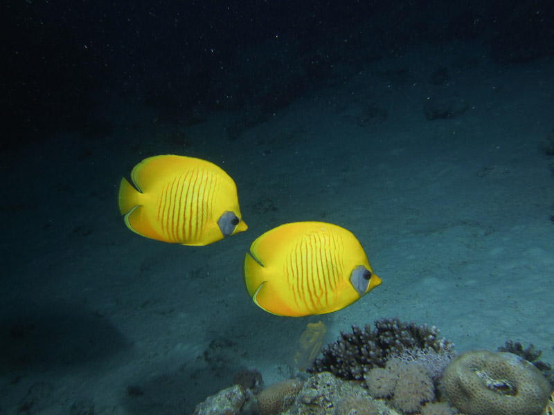 Photo at Gotta Abu Ramada (East):  Bluecheek butterflyfish