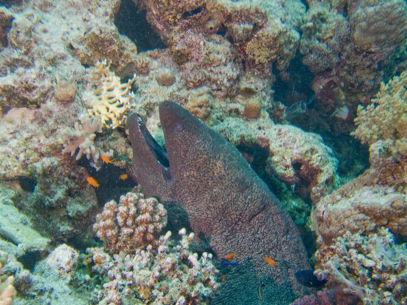 Photo at El Fanadir:  Giant moray