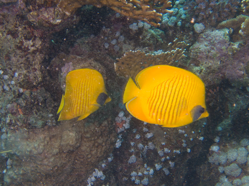 Photo at Small Giftun:  Bluecheek butterflyfish