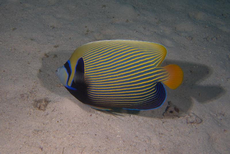 Photo at Gotta Abu Ramada (West):  Emperor Angelfish