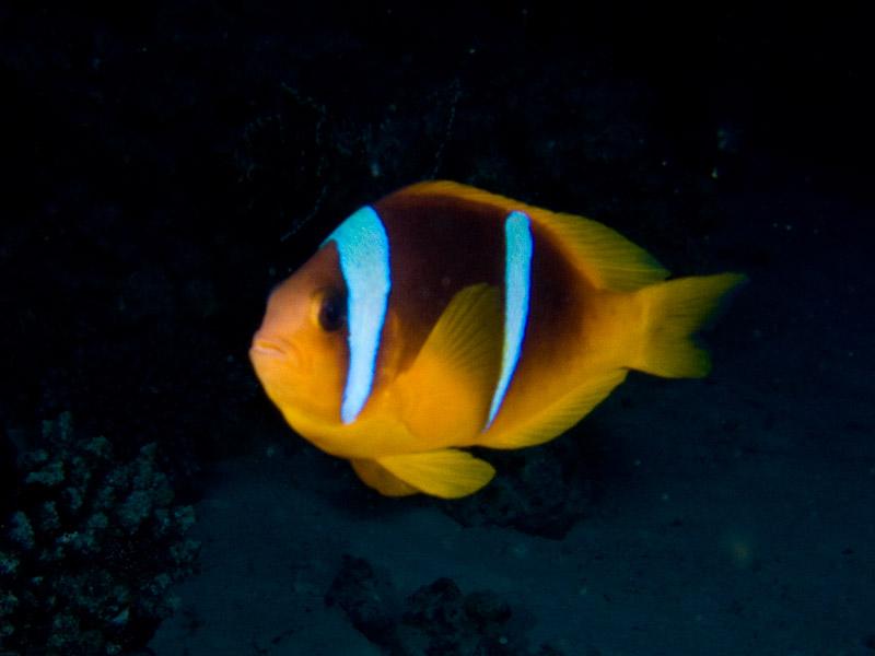 Photo at Gotta Abu Ramada (West):  Twoband anemonefish