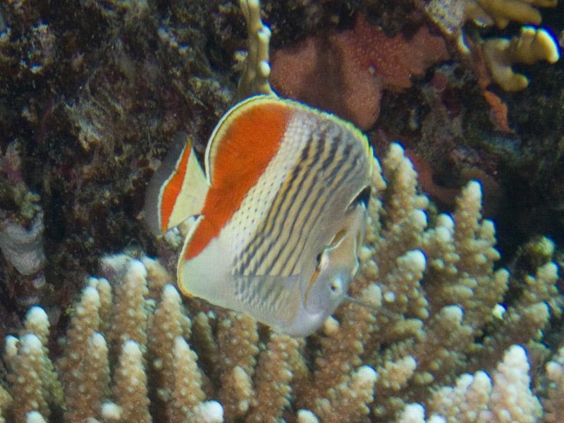 Photo at Gotta Abu Ramada (West):  Eritrean butterflyfish