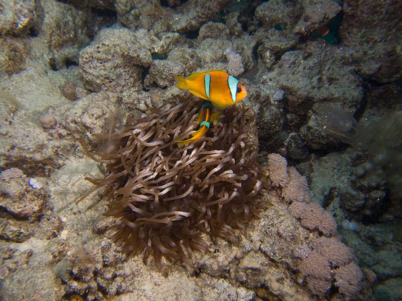 Photo at Abu Ramada Cave:  Twoband anemonefish
