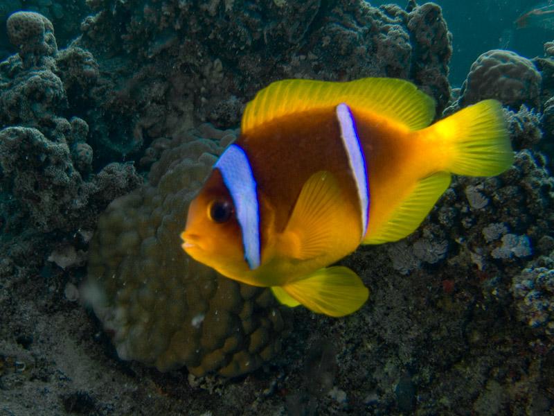 Photo at El Aruk Gigi:  Twoband anemonefish