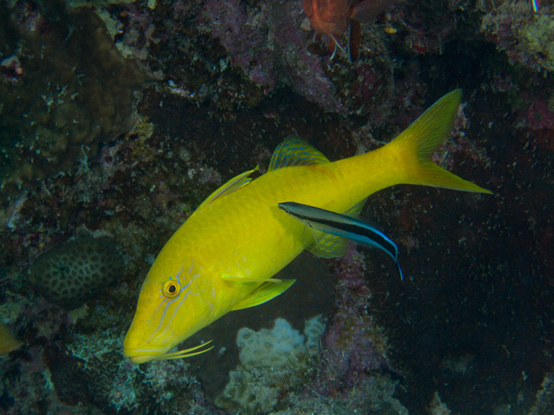 Photo at El Aruk Gigi:  Bluestreak cleaner wrasse,Goldsaddle goatfish