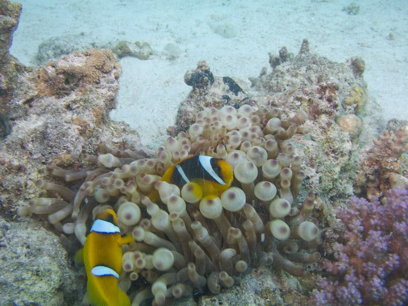Photo at Ras Disha:  Twoband anemonefish