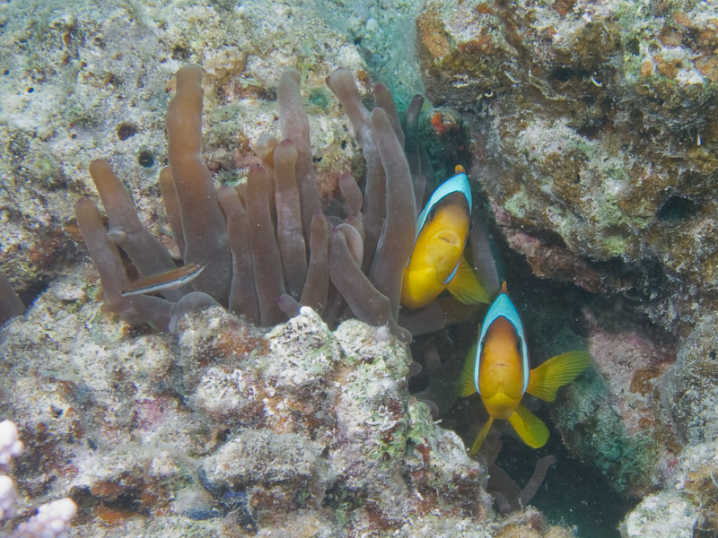 Photo at Ras Disha:  Twoband anemonefish