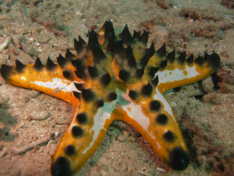 Photo at Meras:  Horned Sea Star