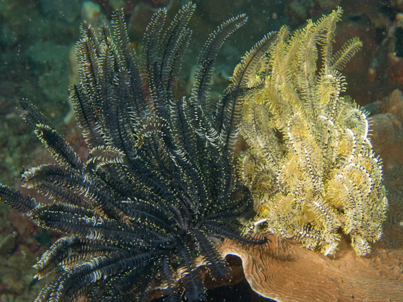 Photo at Meras:  Crinoid Feather star