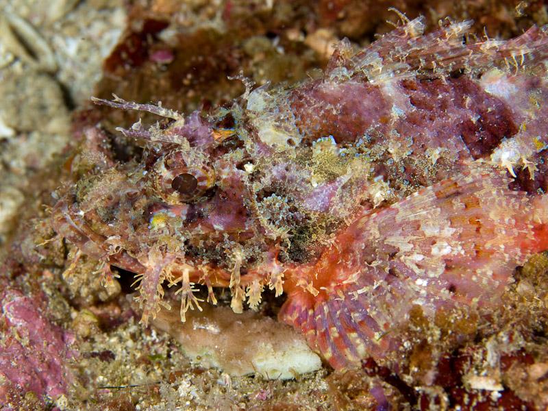 Photo at Labasong:  Papuan scorpionfish