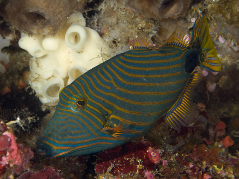 Photo at Labasong:  Orange-lined triggerfish